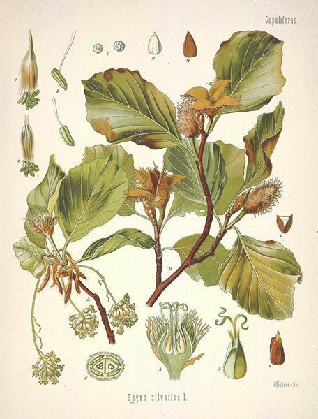 Fagus Sylvatica -European beech