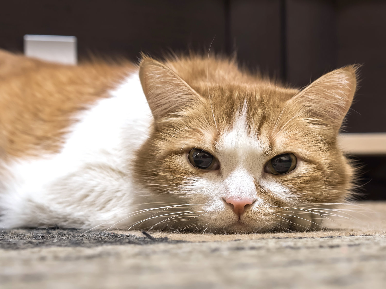 Chronic Renal Failure In Cats The Scaredy Cat Hospital