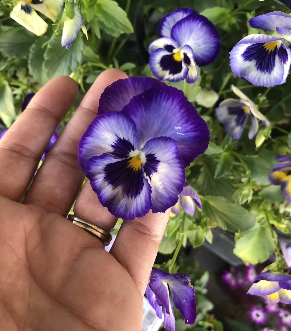 Avery purple pansy.jpg