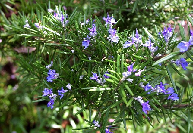 We are SO excited to host Anna Dadson's @fortheloveofbeesnz '1000 Rosemary Bushes for Auckland' project TOMORROW from 12pm - 2pm on #queenswharf 🌞 All you have to do is turn up and in 5 mins you will learn how to prepare a cutting of #rosemary using #biological methods. 🐝 hope to see you there!  Thank you Panuku Development Auckland for enabling this event. #free #allwelcome #permaculture #cuttings #workshop #plants #placemaking #activation #auckland #collaboration #newfriends