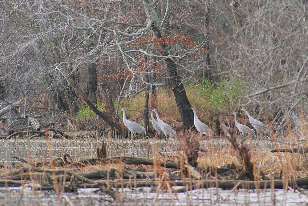 Sandhill cranes gather along the shoreline. Photo: Bob Butters