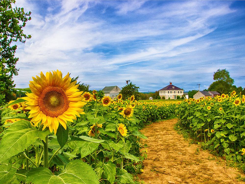 SunflowerField.jpg
