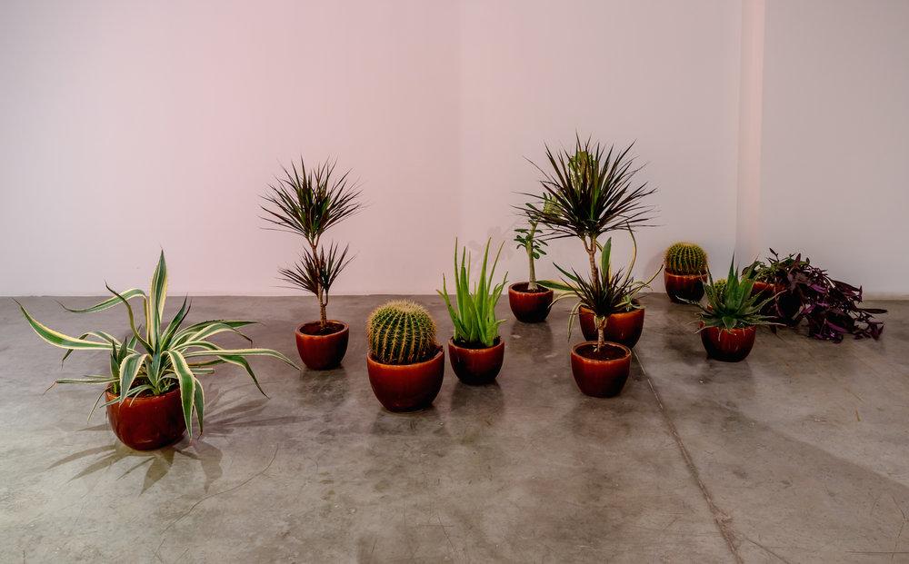 xxx, xx, x 2016  Agave parryi, Aloe vera, Golden barrel cacti, Agave americana, Mock azalea, Dracaena marginata, ceramic pots Dimensions variable