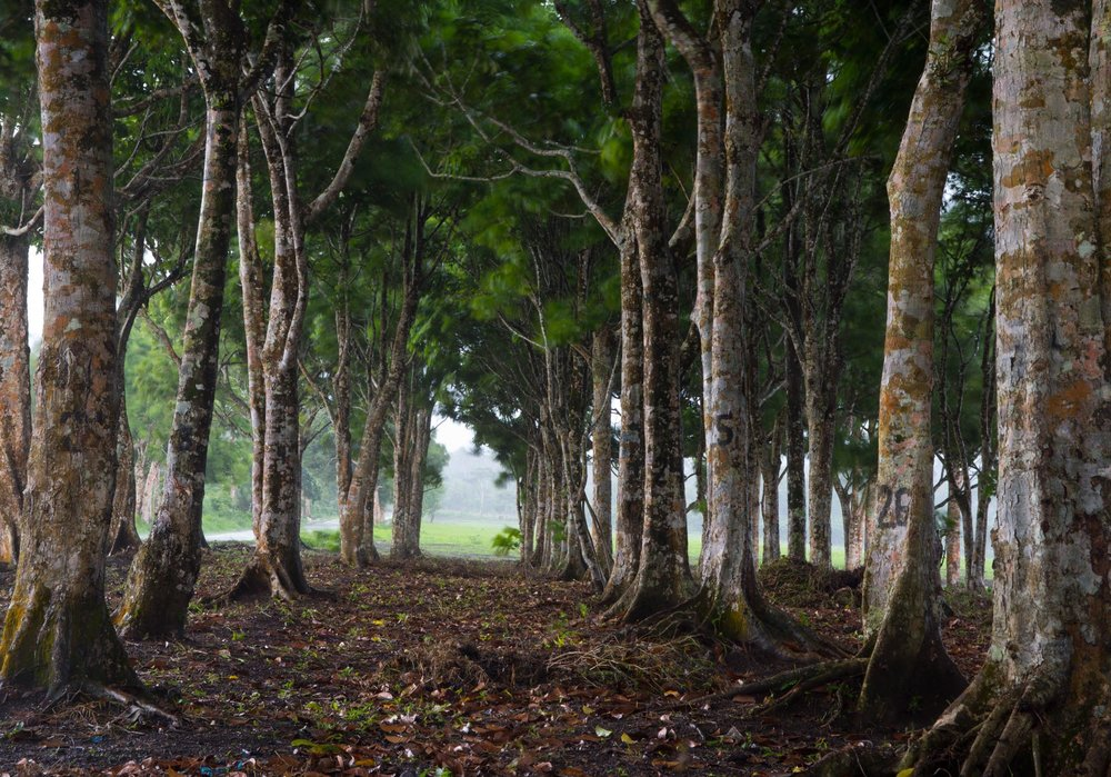 Pili Nut Trees - The Philippines///Arbres pili, Philippines