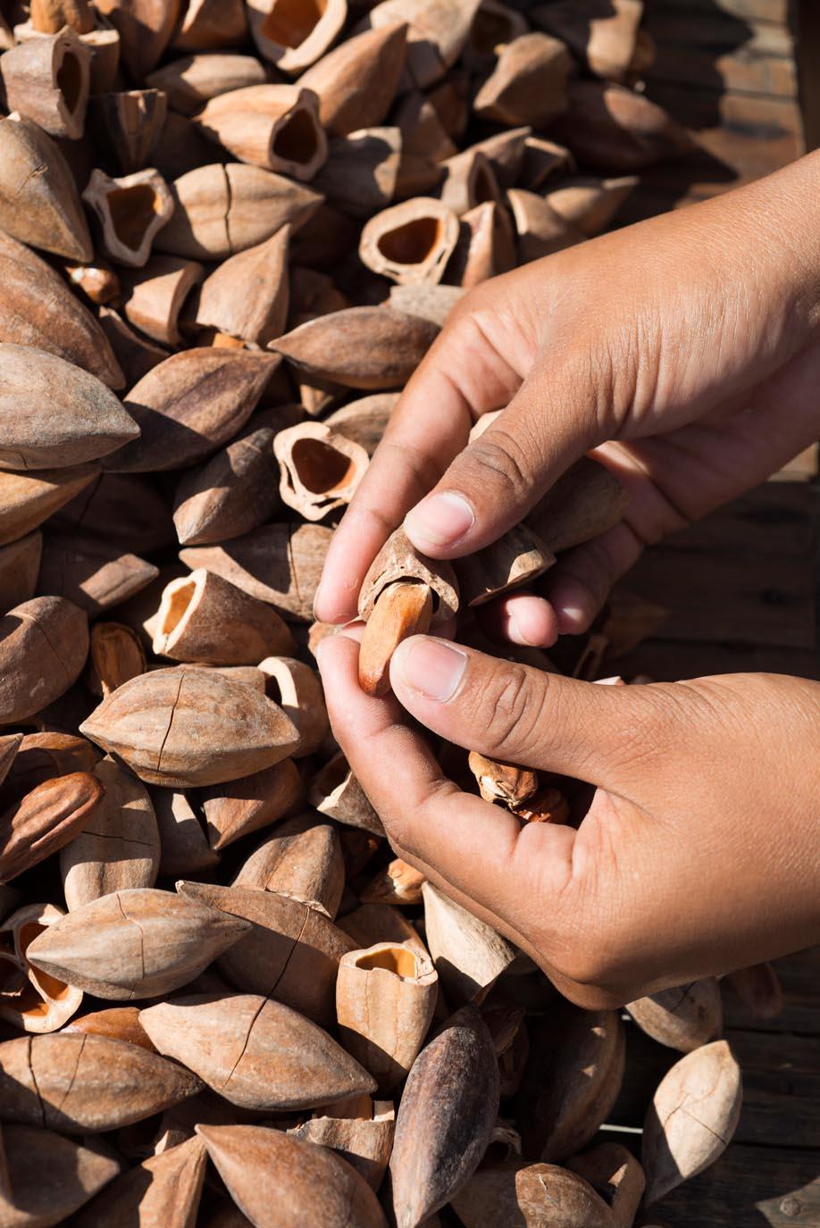 Cracked Pili Nuts///Noix de pili ouvertes