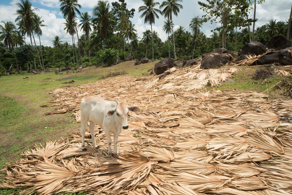 Dried pili tree branches with cow///Une vache piétine des feuilles et des branches mortes d'arbre pili