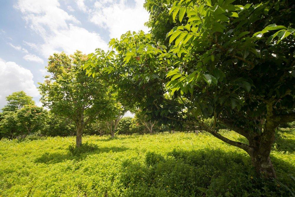 Pili Trees///Arbres pili