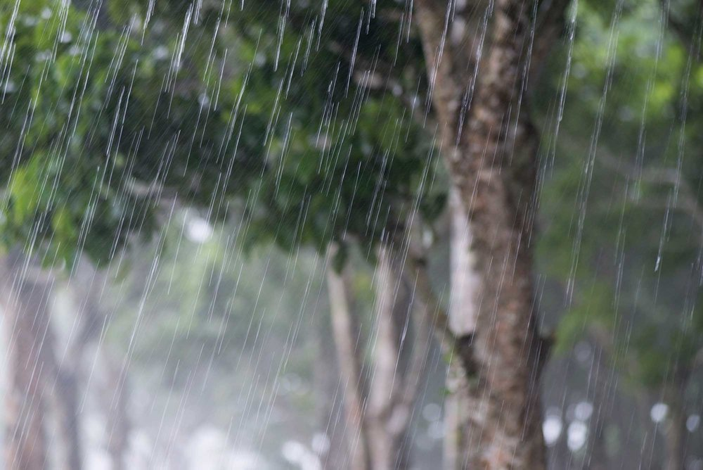 Pili trees in the Mount Mayon rainy season///Arbres pili du Mont Mayon, pendant la saison des pluies
