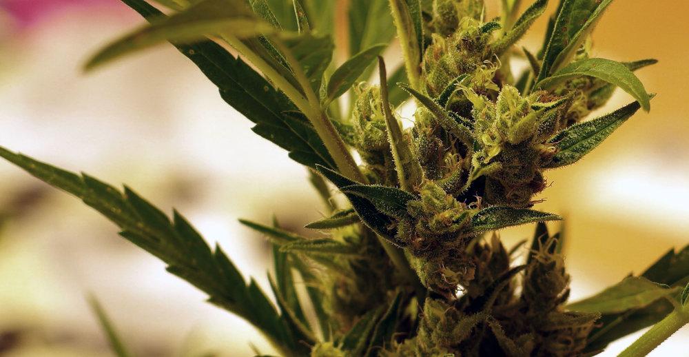 Medicinal Marijuana Residues