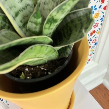 snake plant 3.jpeg