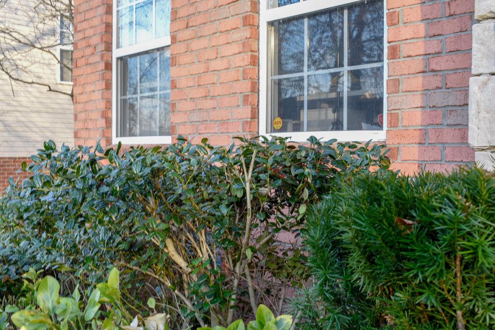 holly bushes under windows
