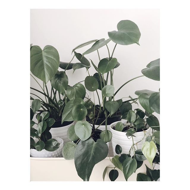 really loving the plant bbs I have here at home - this is only half of them 🌿 especially since they're growing a lot now that it's ~spring~  I purchased most of these via @thesill but got the chinese money plant last thanksgiving upstate at @flowerkraut  #thesill #plantsofinstagram #houseplants #indoorplants