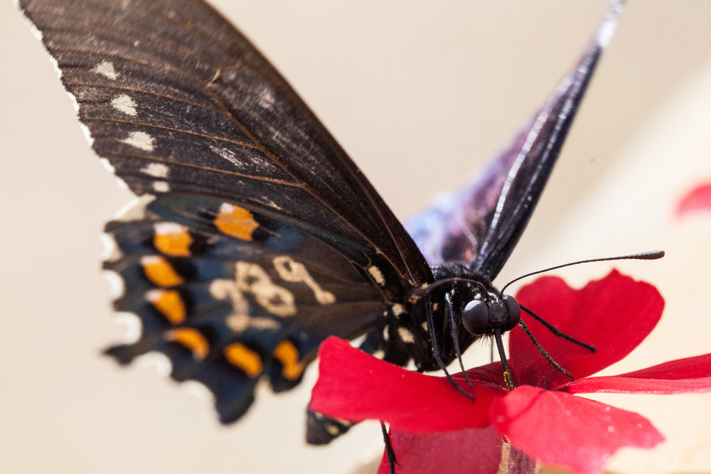 Innate and Learned Foraging Behavior:  We are working to understand how flower color influence both innate and learned foraging behavior of the pipevine swallowtail butterfly ( Battus philenor ) .