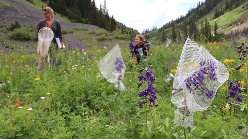 Heterospecific pollen transfer in the field -  Most pollinators are generalists and therefore are likely to transfer heterospecific pollen among co-flowering plants but know very little about the reproductive effects of heterospecific pollen in field settings. We take a comparative field approach to explore how patterns of naturally deposited heterospecific pollen (HP) relate to the reproductive output in alpine plant species. This gives us information about how pollinators are moving pollen in native plant communities which can have important implications for the evolution of plant mating systems.