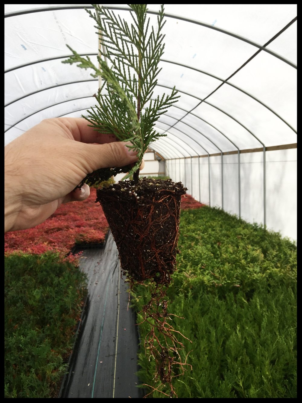 "Healthy Root System of Leyland Cypress 2.5"" pot"