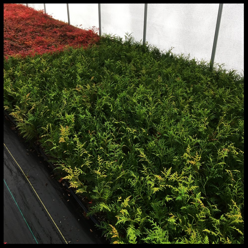 """Thuja Standishii x Plicata 'Green Giant Arborvitae' 2.5"""" pot"""