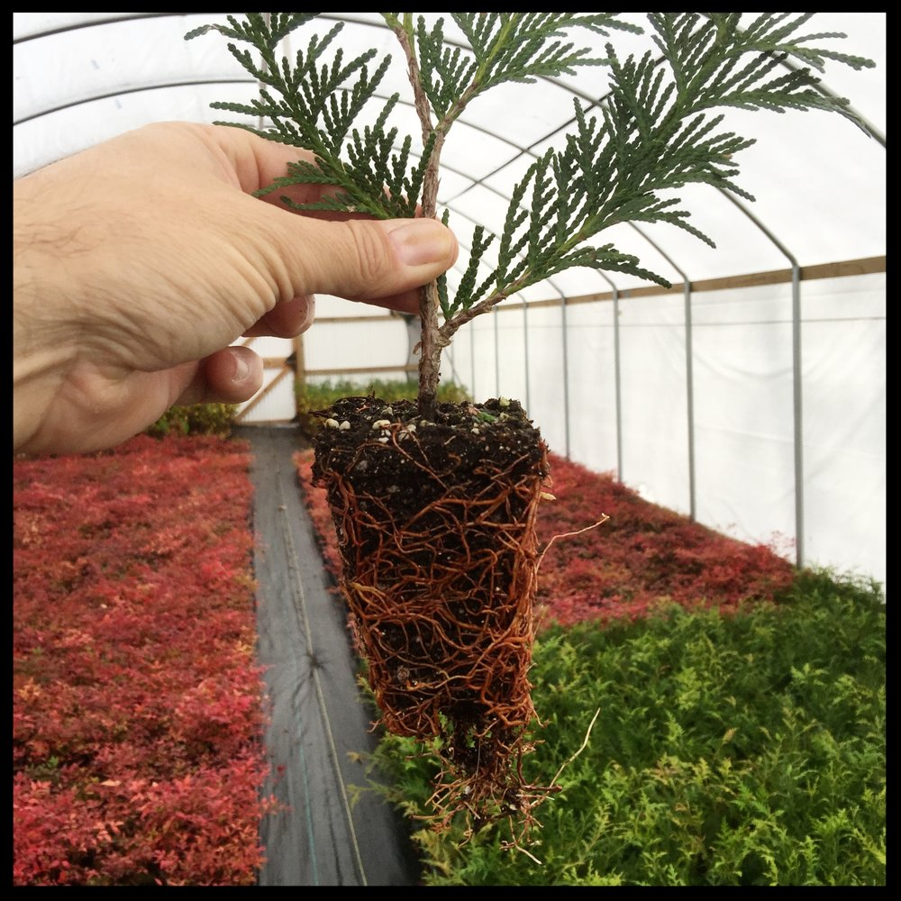 "Healthy Root System of Green Giant Arborvitae 2.5"" pot"