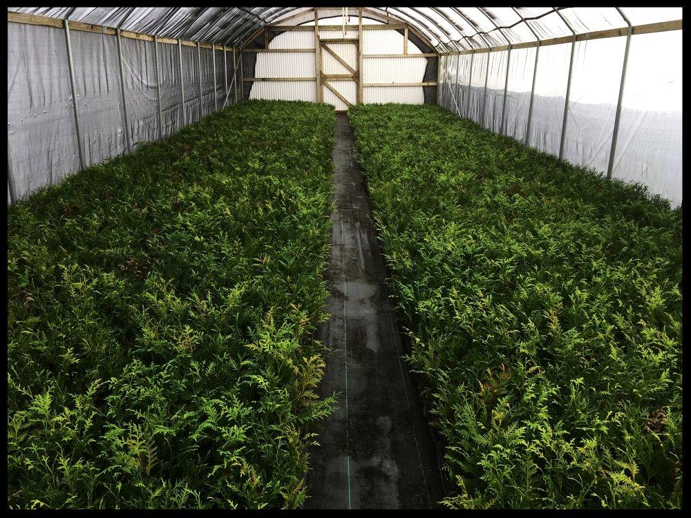 """Green Giant Arborvitae 2.5"""" pot"""
