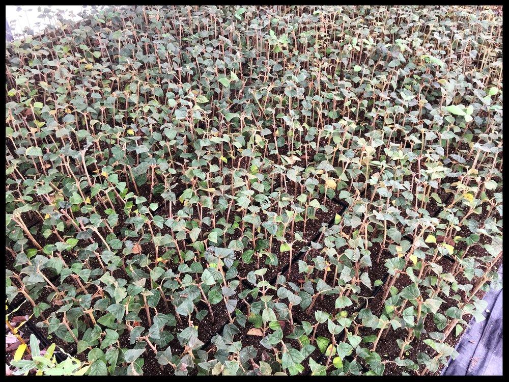 """Viburnum x Rhytidophylloides 'Willowwood Viburnum' 2.5"""" Pot"""