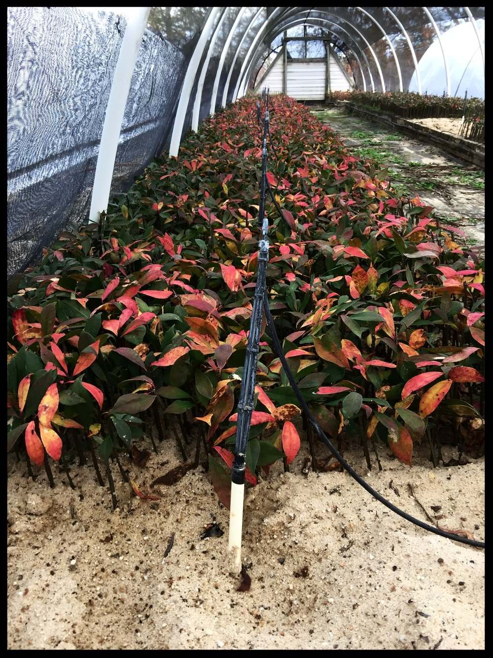 Euonymus Alatus Compactus 'Dwarf Burning Bush' transitioning into fall foliage. Sand bed grown.