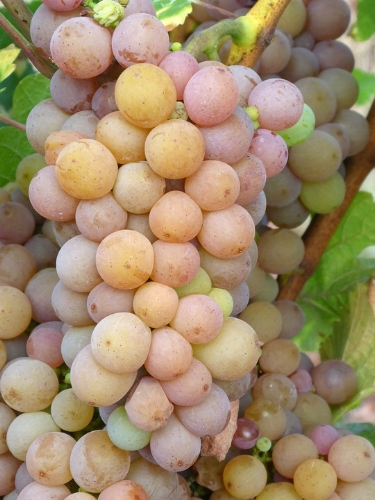 """""""Gris"""" in French is gray. Pinot Gris grapes, which are a mutation of Pinot Noir, retain a grayish-blue color."""