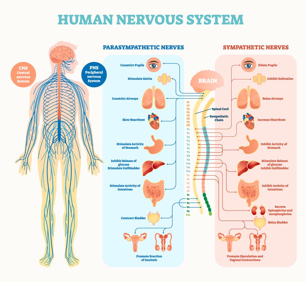 nervous-system2.png
