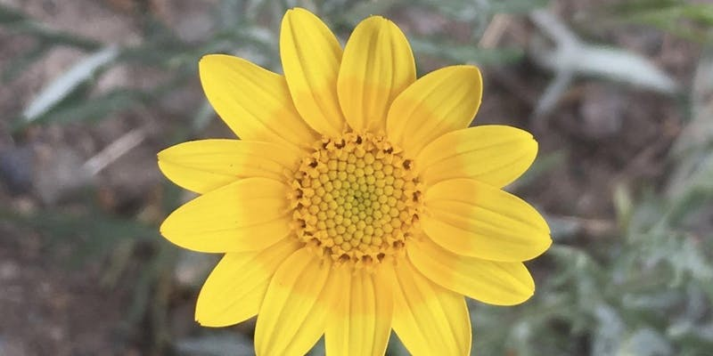 Oregon Sunshine by  native plant guide  author, Marilynne Keyser.