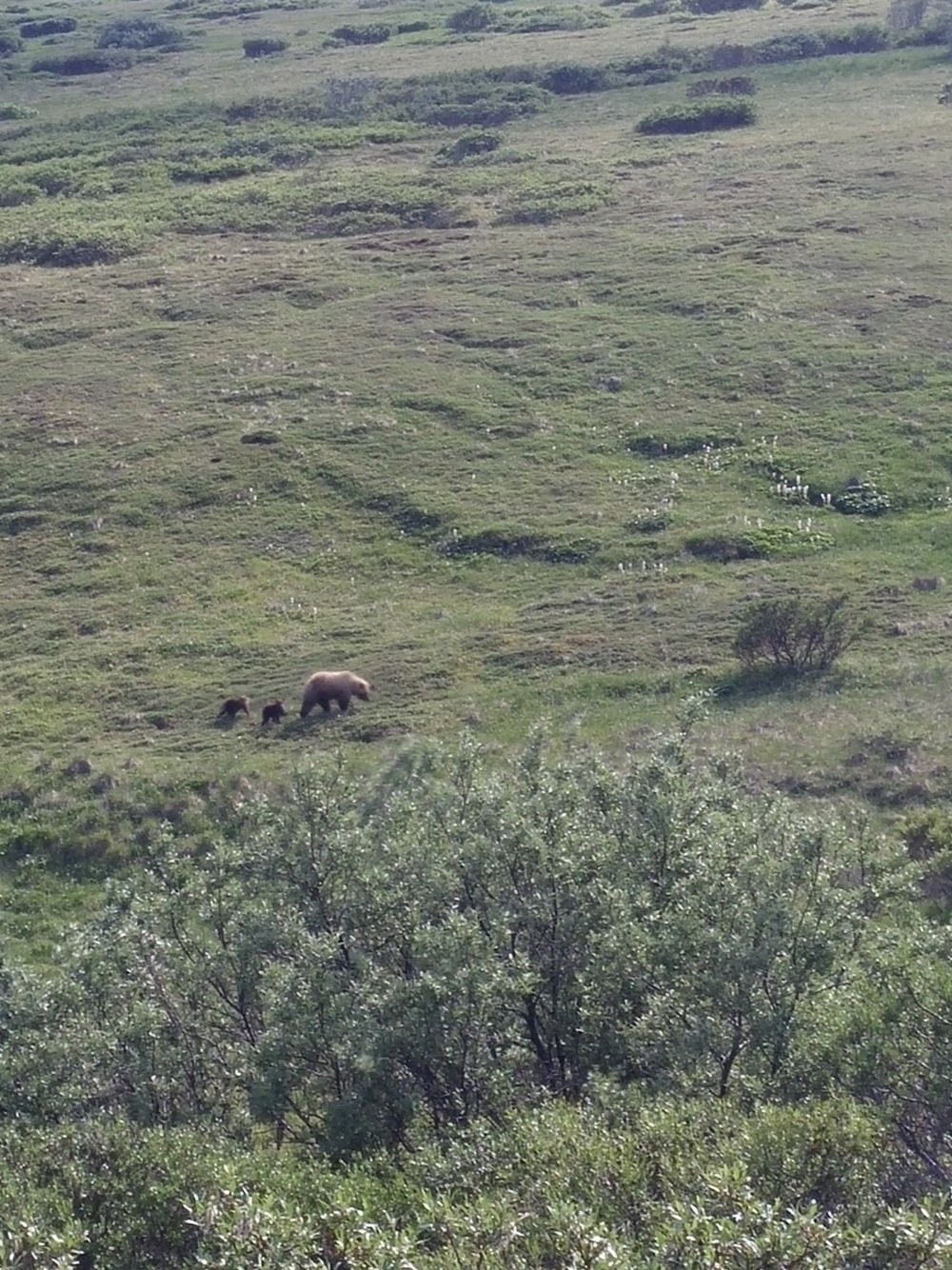 Grizzlies in Denali, Alaska. This is how far they'd gotten after which I didn't really remember to take pictures.
