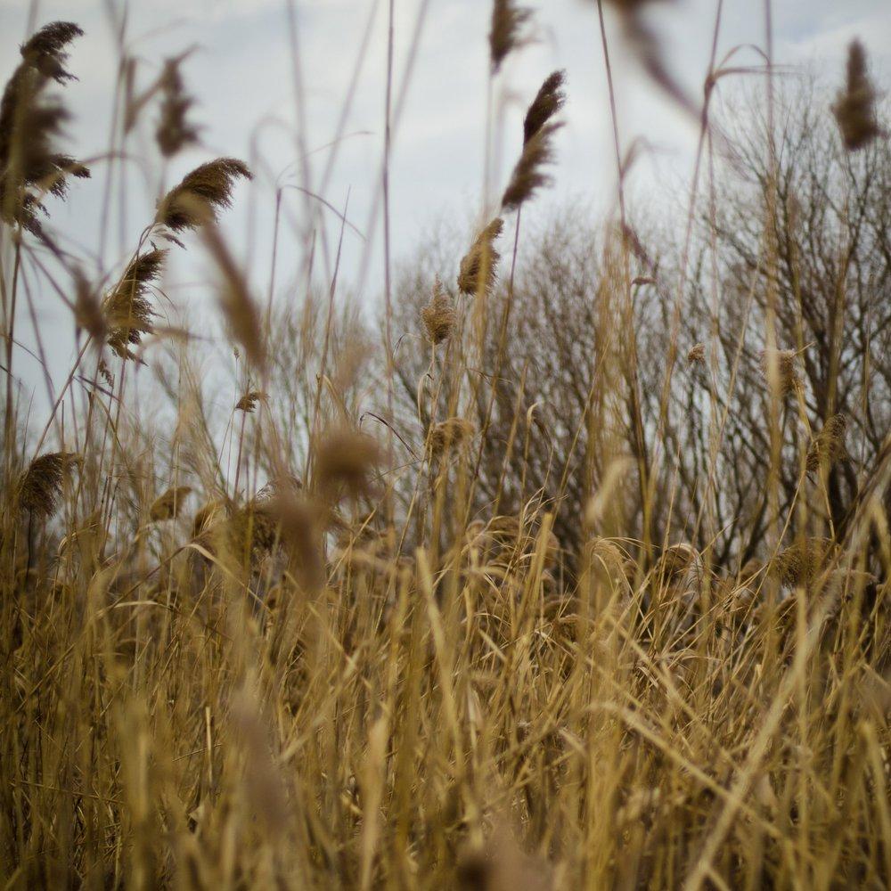 wheat (2).jpg