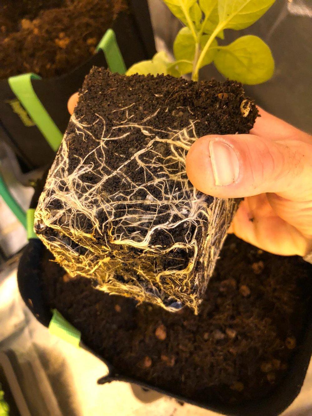 Sweet Pepper Plant