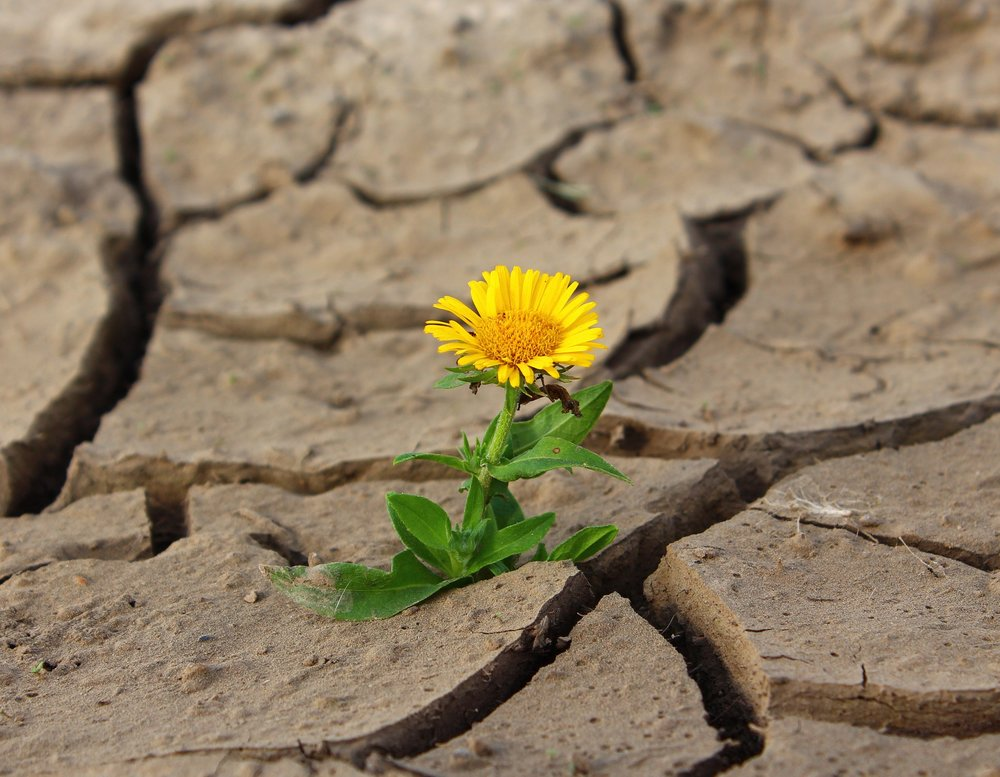 dandelion growing through cracks in the ground