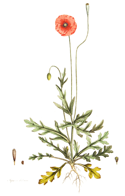 Wm Curtis's Flora Londinensis
