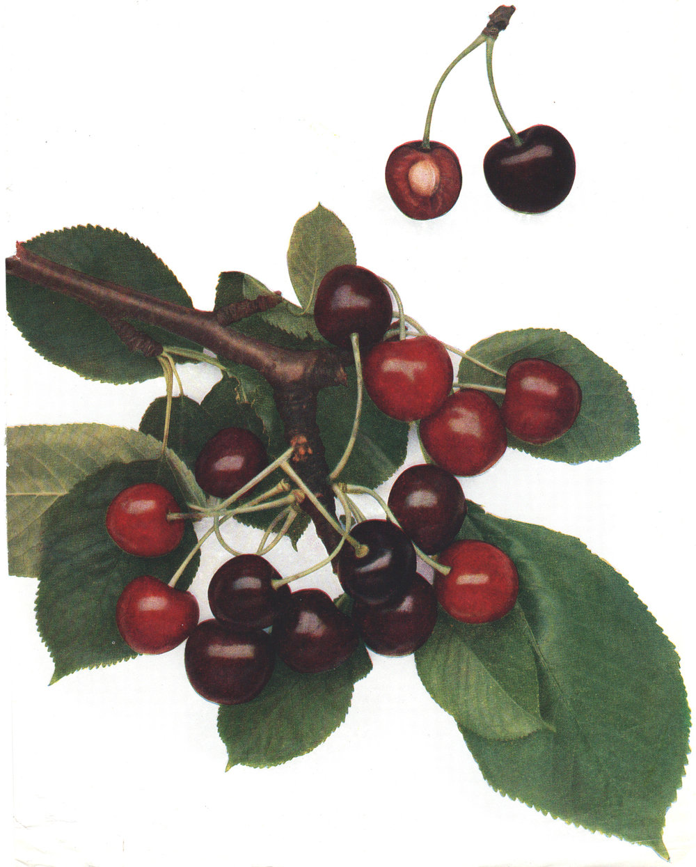 Grubb, Norman H. – The Cherries and Plums of England