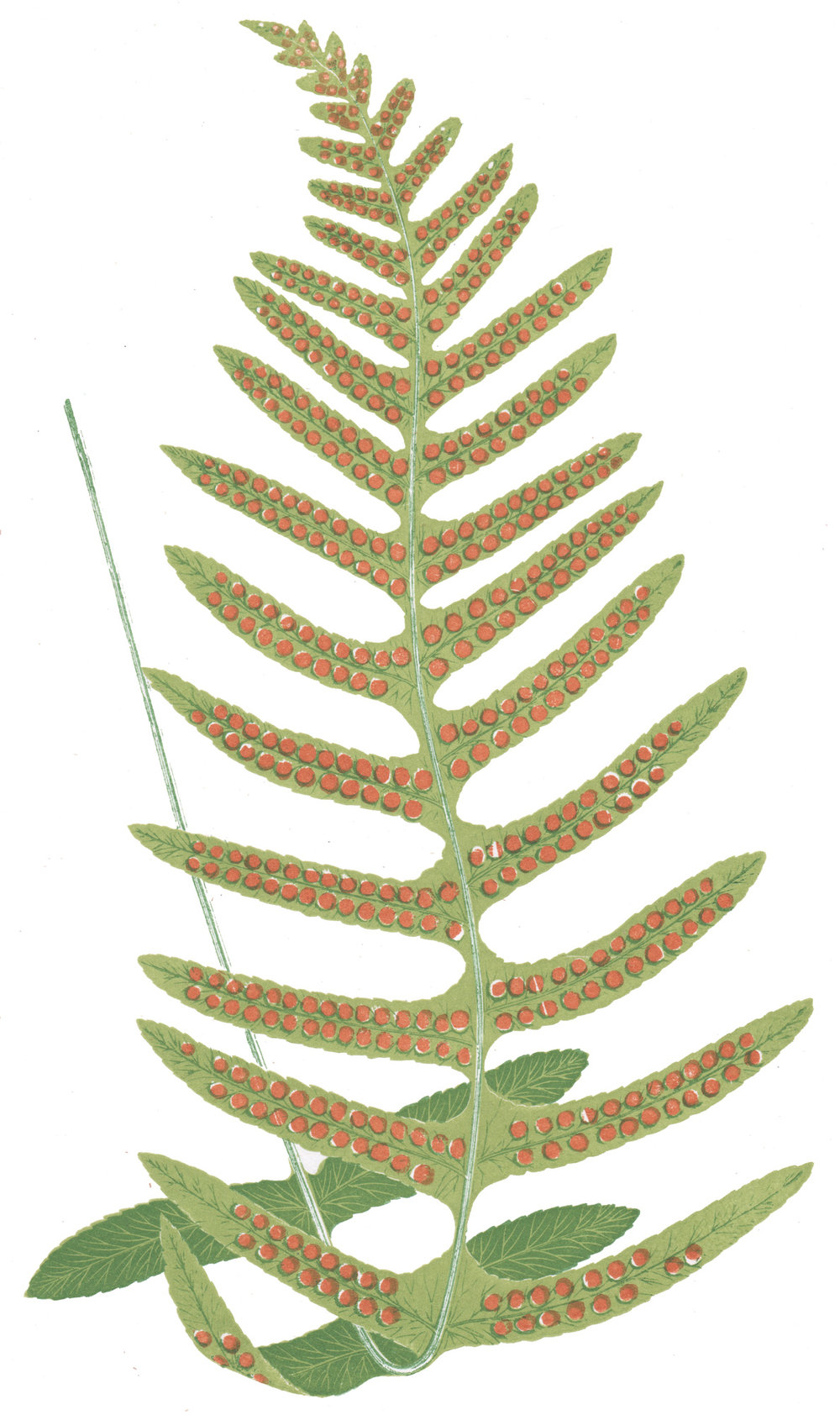Lowe, E.J. – Our Native Ferns