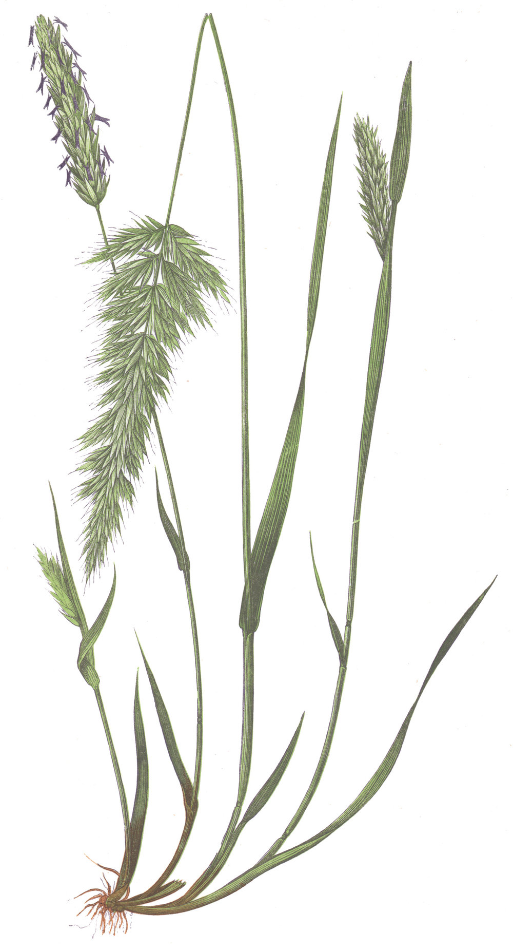 Lowe, E.J. – British Grasses
