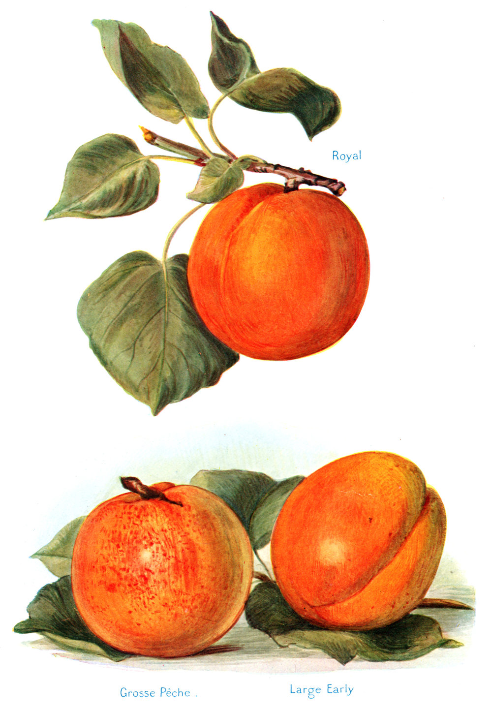 Wright, John / Miss May Rivers – Fruit Grower's Guide 1924
