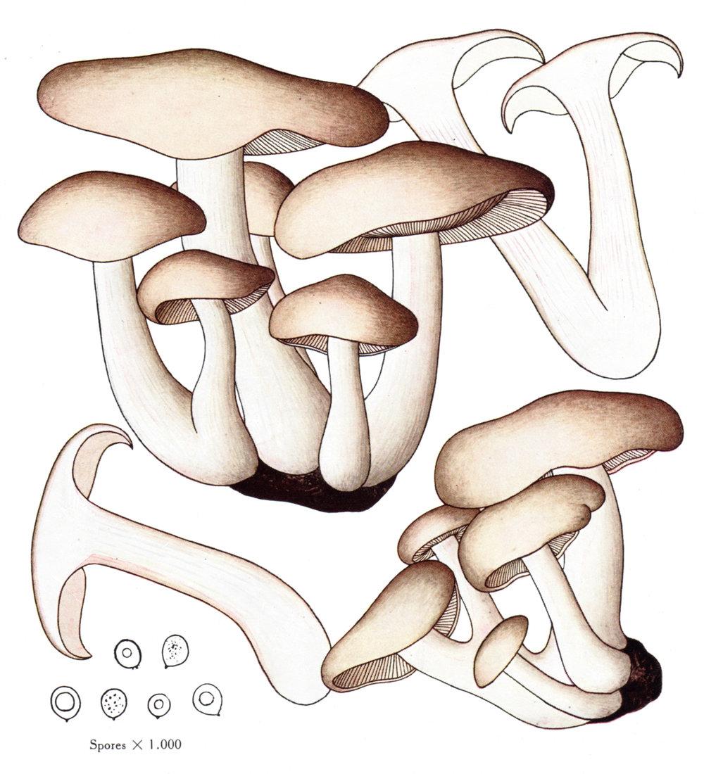 Icones Selectae Fungorum