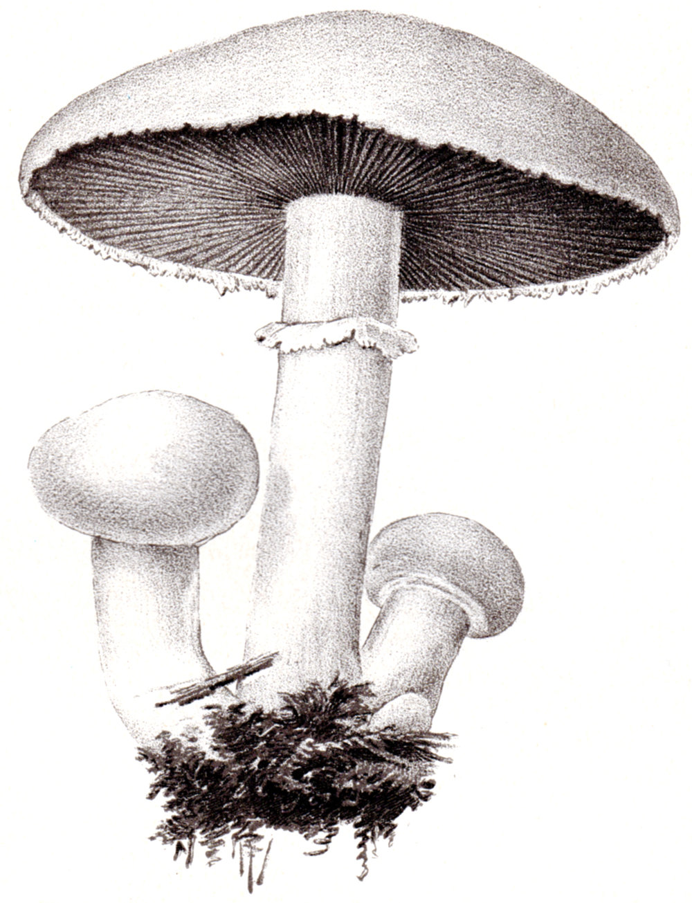 U.S. Dept. of Agriculture – Mushrooms 1897