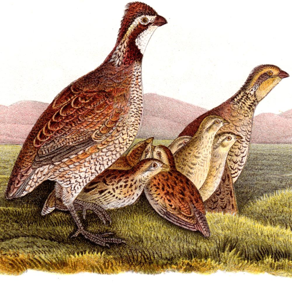 Miscellaneous 19th-century birds