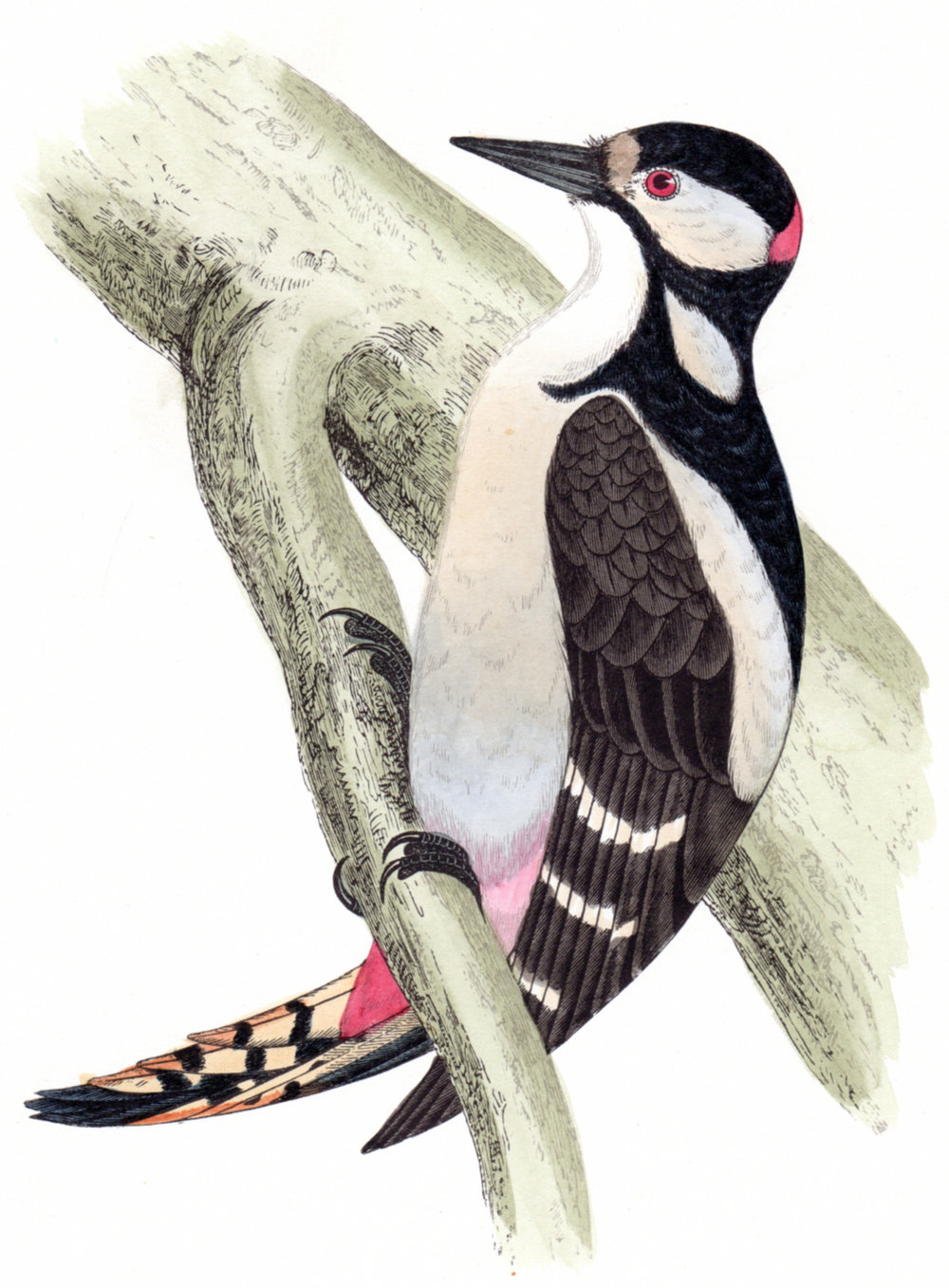 Morris,  Reverend Francis Orpen – British Birds