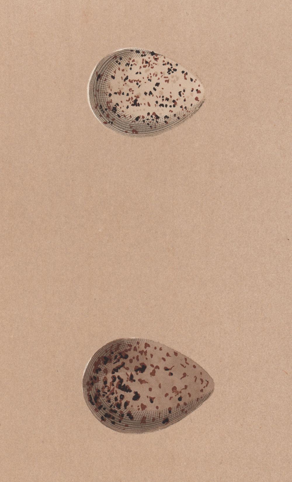 Morris,  Reverend Francis Orpen – Nests & Eggs