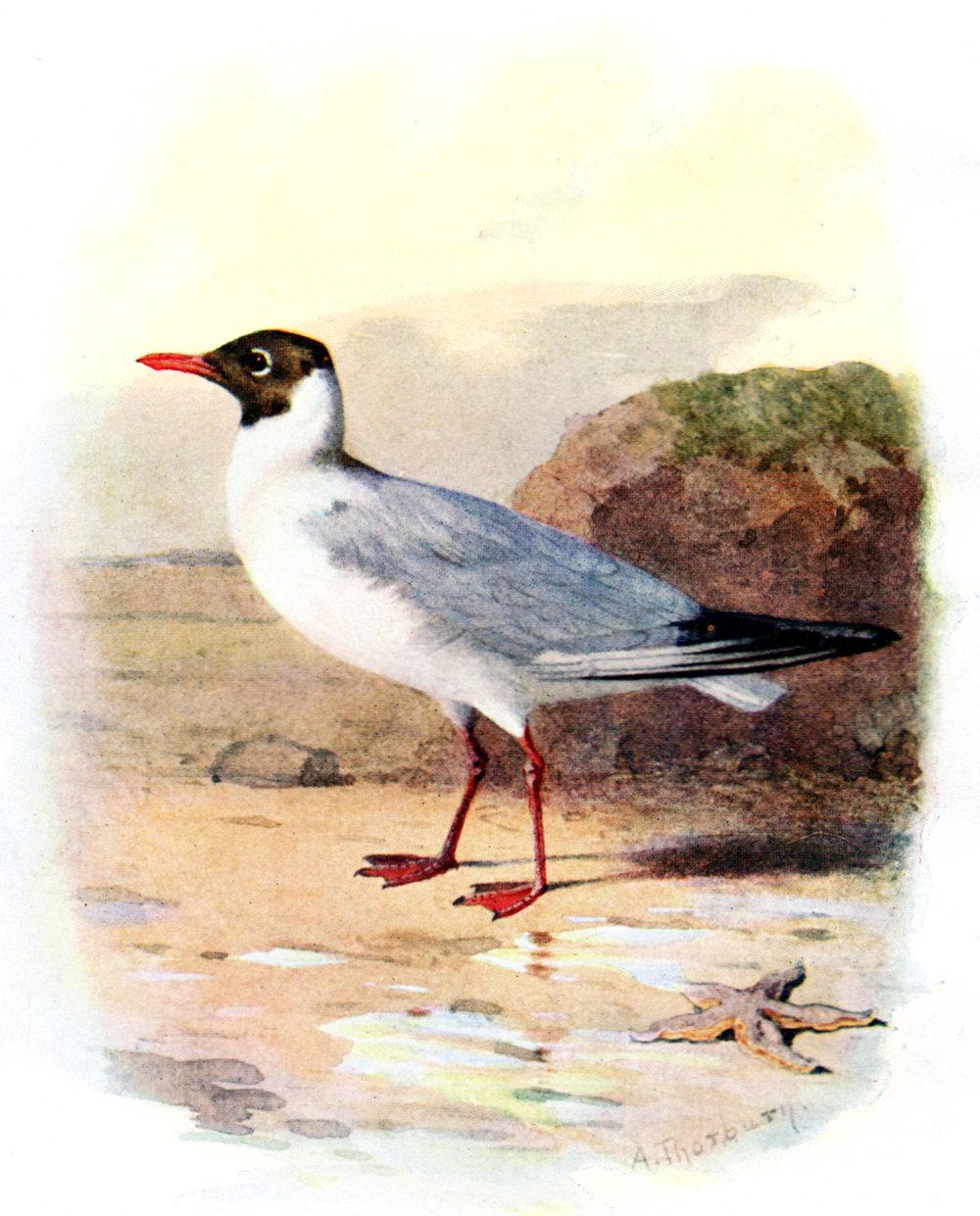 Thorburn, Archibald