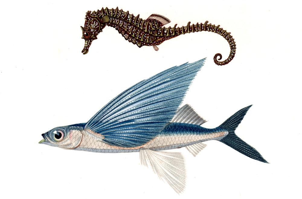 d'Orbigny, Charles – Fish, Shells, Sea Creatures