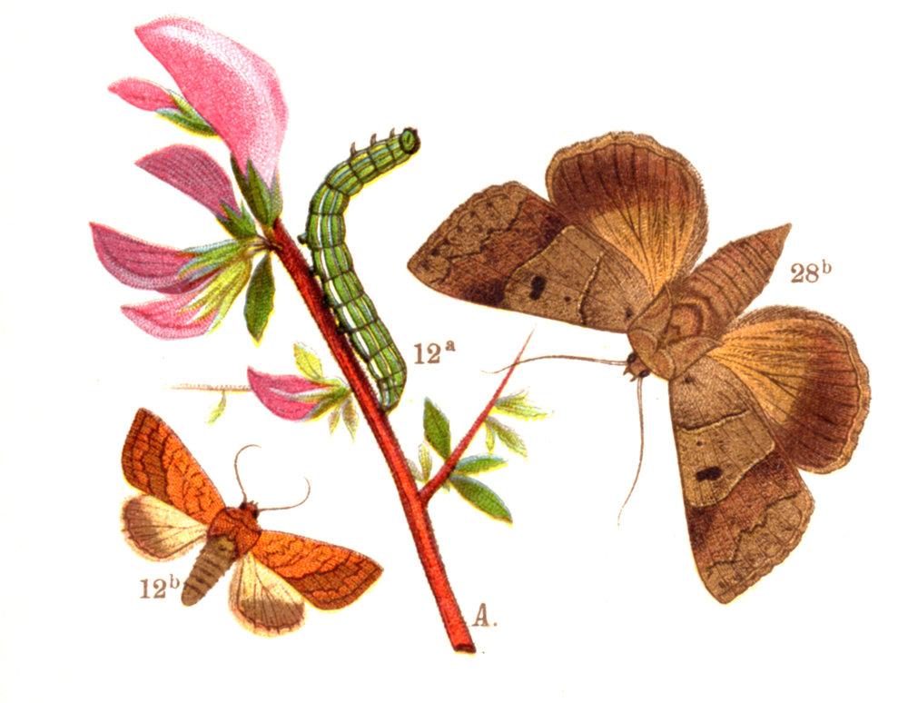 Butterflies, Moths, Caterpillars –circa 1880