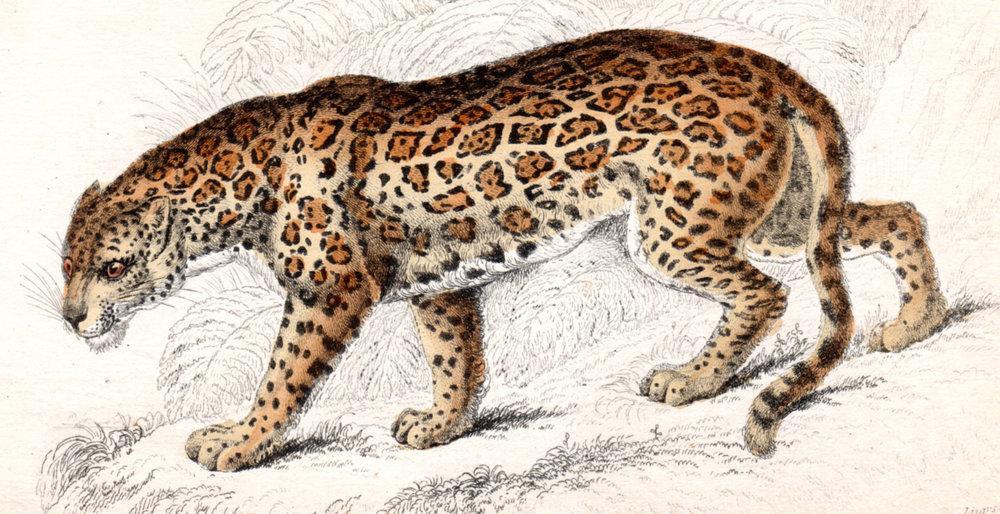 Jardine, Sir Wm / Lizars, Wm – Cats, Lions, Tigers, etc.