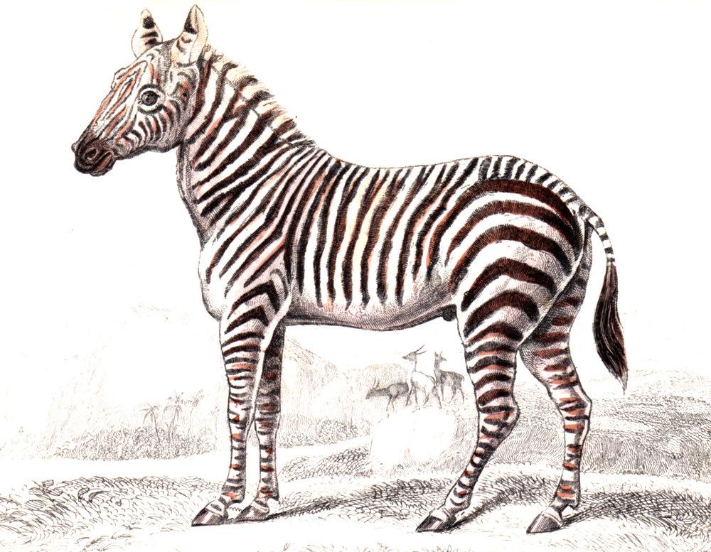 Jardine, Sir Wm / Lizars, Wm – Horses, Zebras, Equine