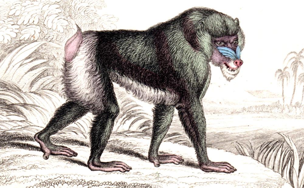 Jardine, Sir Wm / Lizars, Wm – Monkeys, Apes, Primates