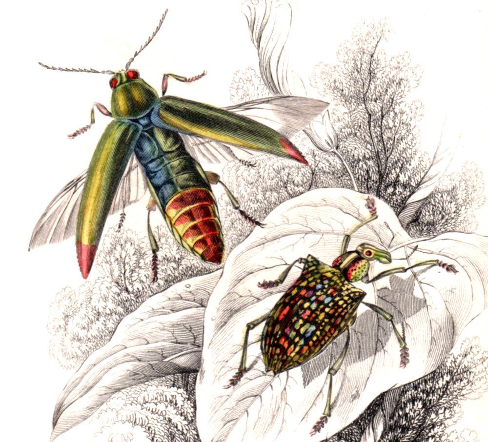 Jardine, Sir Wm / Lizars, Wm – Beetles, Insects