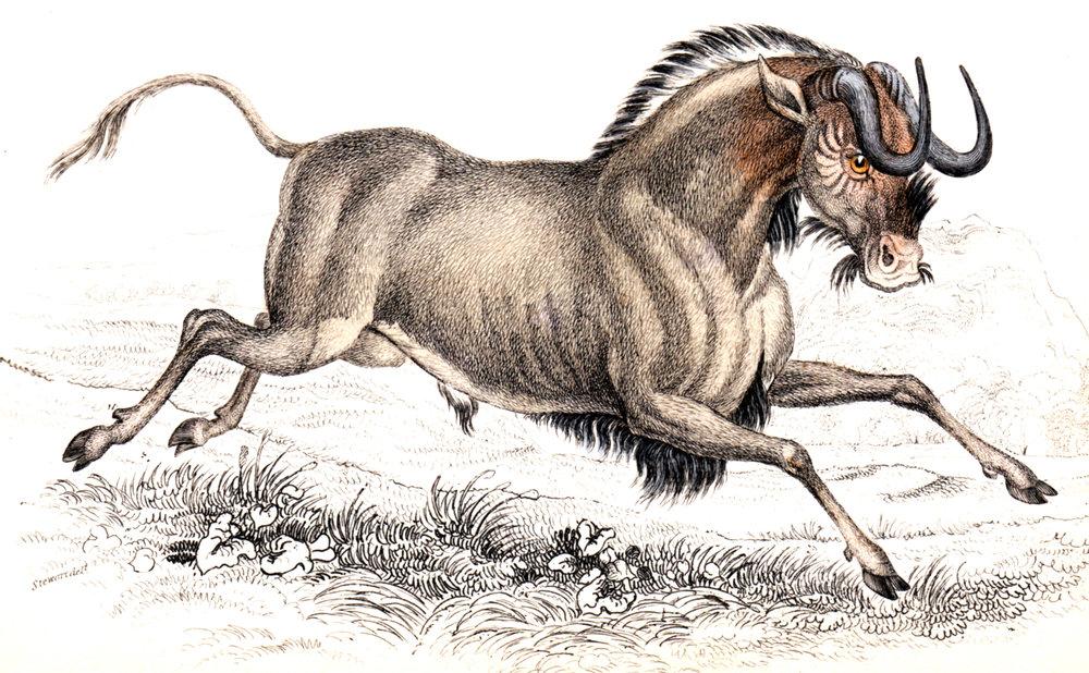 Jardine, Sir Wm / Lizars, Wm – Deer, Antelope, Bison, etc.
