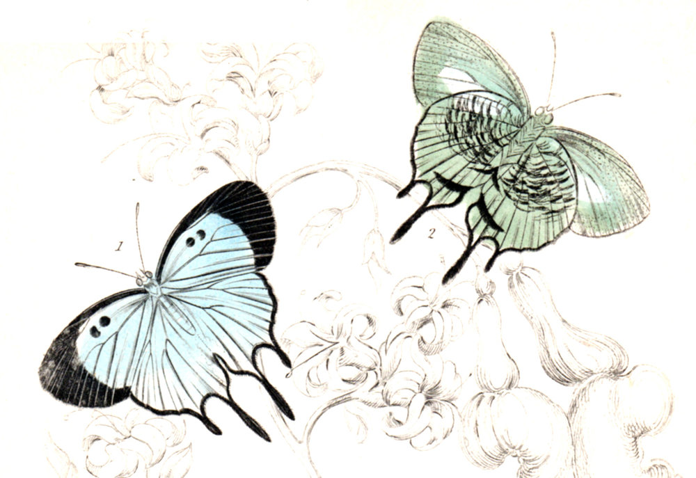 Jardine, Sir Wm / Lizars, Wm – Exotic Moths, caterpillars, etc.